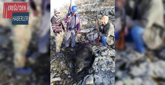 Tarım arazilerine zarar veren domuzlar öldürüldü