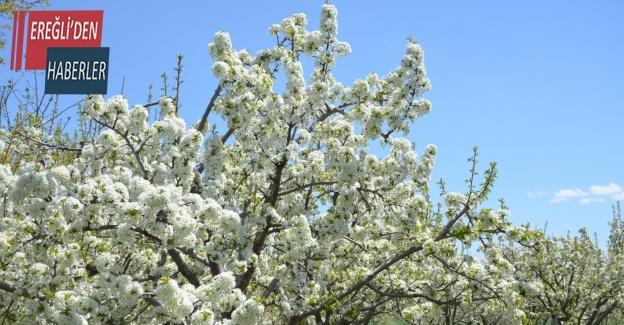 Ereğli'de kiraz bahçeleri beyaza büründü