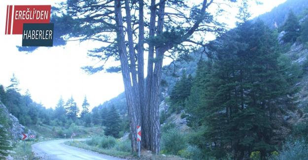 Beş kardeşler anıt ağacı görenlerin ilgisini çekiyor
