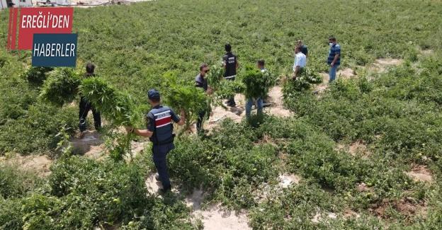 Konya'da domates tarlasında Hint keneviri ele geçirildi