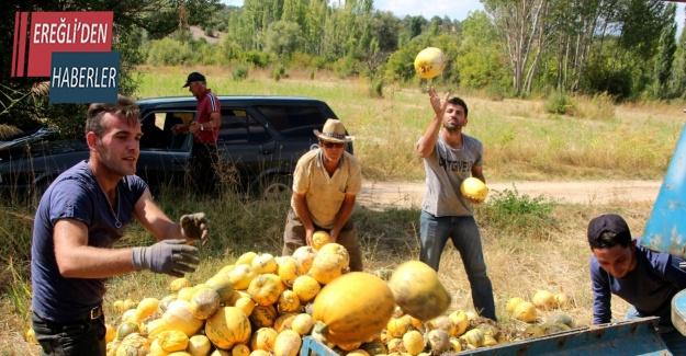Beyşehir'de genç çiftçiler deneme amaçlı çekirdeklik kabak yetiştirdi