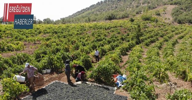 Konya Ovası'nda üzüm hasadı başladı