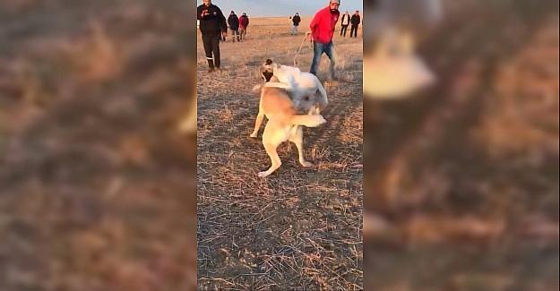 Köpekleri dövüş adı altında birbirine...